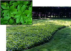 Green Carpet Pachysandra